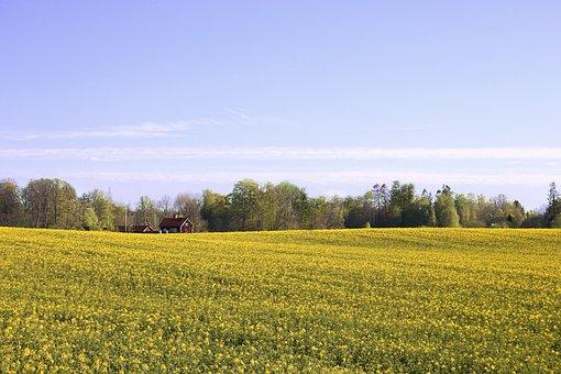 Oilseed Rape, Field Of Rapeseeds, Field, Agriculture