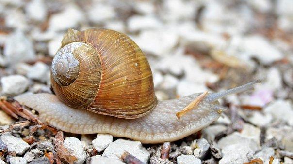 Snail, Helix Pomatia, Crawl, Probe, Shell, Mollusk