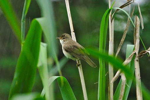 Tube Singer, Sparrow Bird, Songbird, Reed, Nature