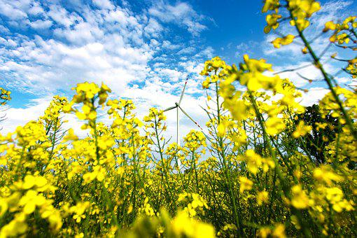 Rapeseed, Field, Yellow, Agriculture, Spring, Flower