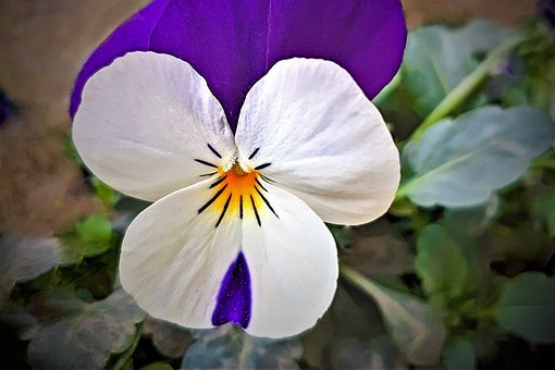 Pansy, Flower, Blossom, Bloom, White, Violet, Flora