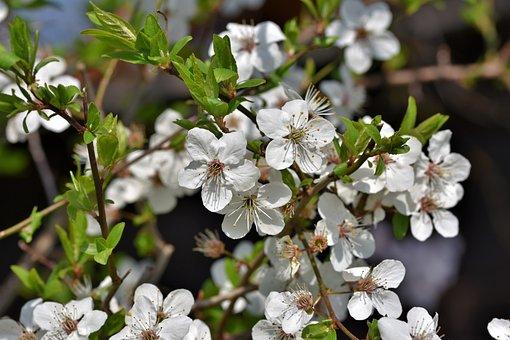 Schlehe, Blackthorn, Bush, Flowers