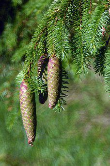 Pine Cone, Cones, Pine, Nature, Christmas Tree, Green