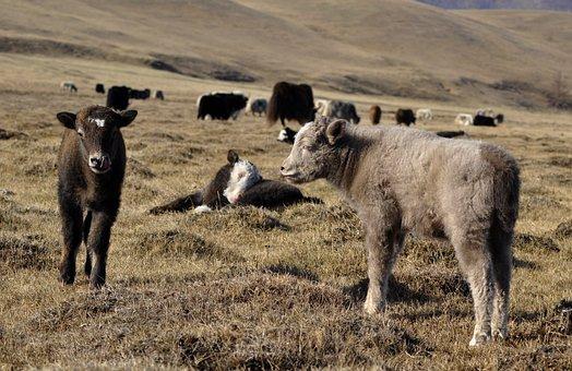 Yak, Baby Yak, Grass, Pasture, Cub, Animal, Livestock