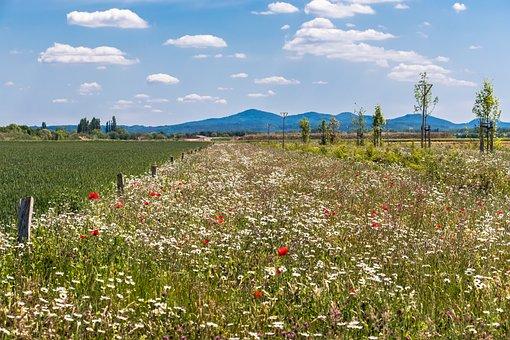 Flower Meadow, Meadow, Mountains, Poppy