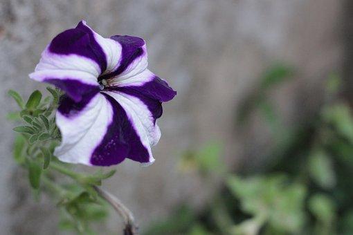 Flower, Violet, Lilac, Lavender, Flowers