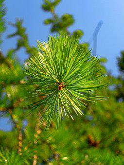 Larch, Green, Tree, Nature, Needles, Pine, Leaves, Blue