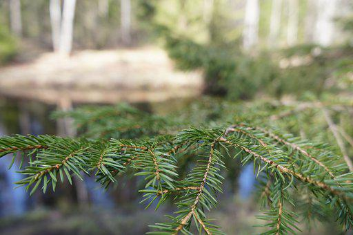 Tree, Needles, Pine, Spruce, Green, Nature, Evergreen