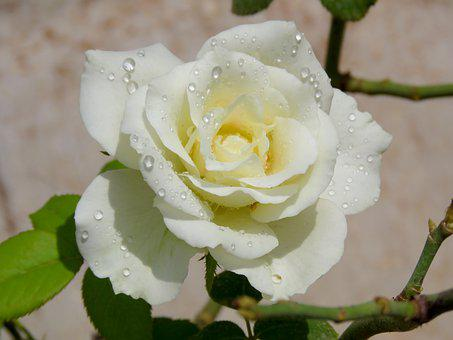 Water Pearls, White Rose, Rose, White, Flower, Nature