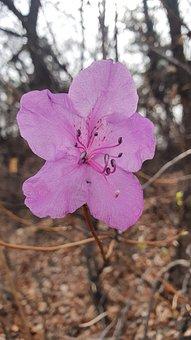 Azalea, Pink, Flowers, Natural, Leaf, Beauty, Plants