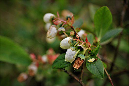 American Blueberry, Blueberries, Vaccinium Corynbosum