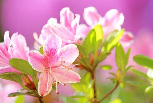Azalea, Bush, Rhododendron, Spring, Plant, Garden