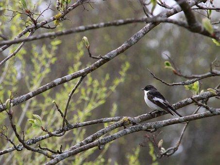 European Pied Flycatcher, Bird, Spring, Branches