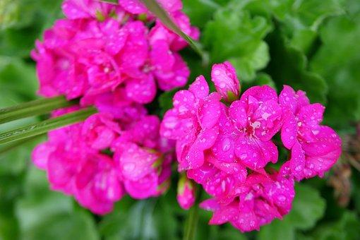 Pink Flowers, Blooming, Spring, Pink, Bloom, Nature