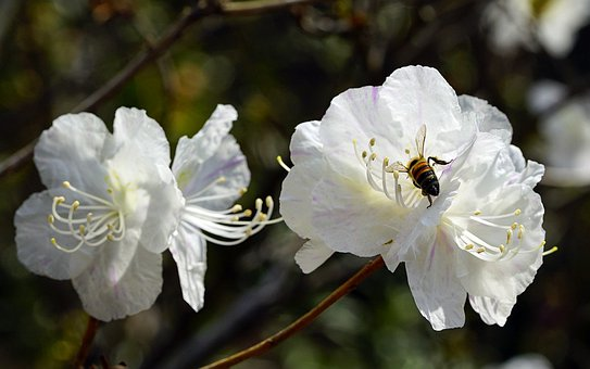 Azalea, Natural, Flower, Spring, Nature, White, Tree