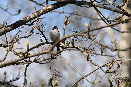 European Pied Flycatcher, Bird, Branches, Spring