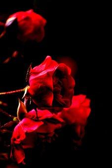 Flowers, Roses, Bouquet, Color, Black Background