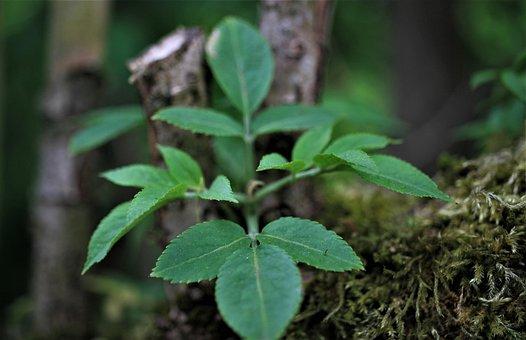 Black Elderberry, Musky Herb Greenhouse, Holder, Tree