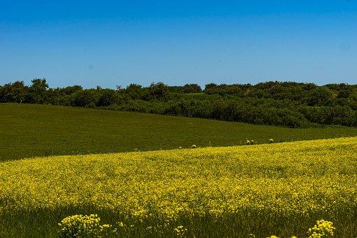Oilseed Rape, Field, Field Of Rapeseeds, Landscape