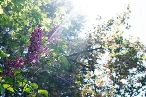Lilac, Purple, Light, Sun, Summer, Spring, Stone, House
