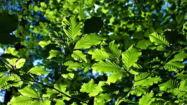 Beukenbladeren, Forest, Nature, Hiking, Tree, Beech