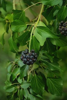 Hedera Helix, Plant, Leaves, Nature, Ivy, Toxic, Flora