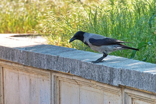 Crow, Bird, Plumage, Gray, Black, Sitting, Fence, Wall