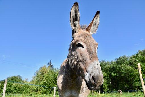Donkey, Portrait Ass, Nostrils Ass