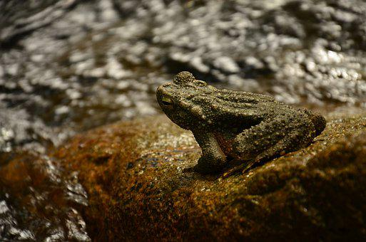Frog, River, Frog On The Rock, Nature