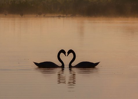 Swans On A Misty Lake, Heart, Lovers, Mist, Sunrise