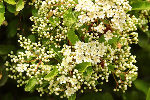 Elder, Elderflower, White, Bush, Blossom, Bloom
