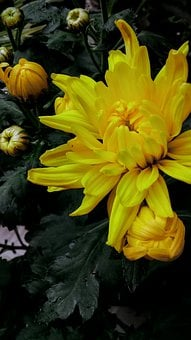 Flowers, Chrysanthemum, Blossom, Plant, Nature