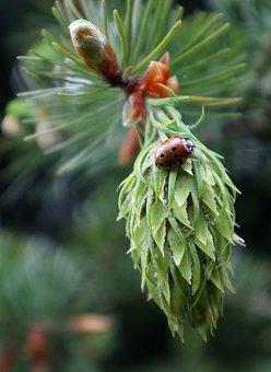 Douglas, Pseudotsuga Menziesii, Green Cone, Insect