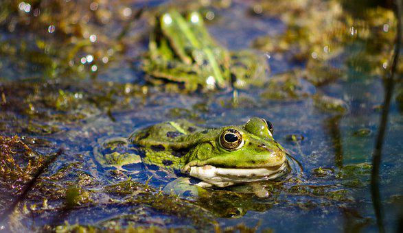 Frog Pond, Green, Rana Esculenta, Water Frog, Frog