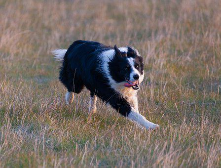 Border Collie, Border Collie In Field, Dog Running