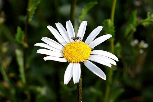 Marguerite, Flower, Korblütler