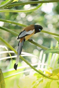 Kerala, India, Rufous Treepie, Bird