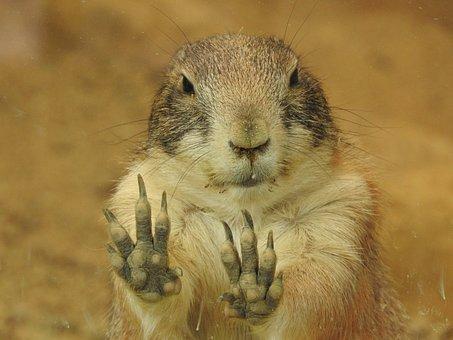 Prairie Dog, Animal, Mammals, Rodents