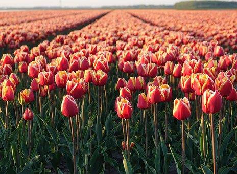 Tulips, Tulip Field, Orange, Netherlands, Bulb, Nature