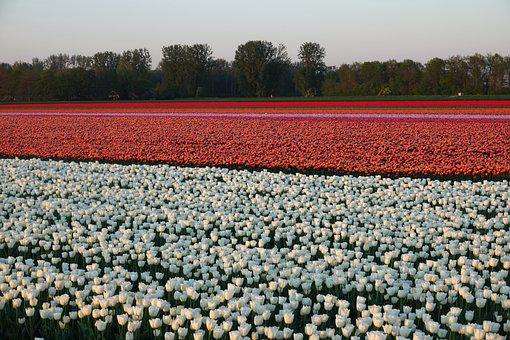 Tulips, Tulip Field, White, Orange