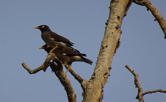 Common Myna, Indian Myna, Bird, Pair