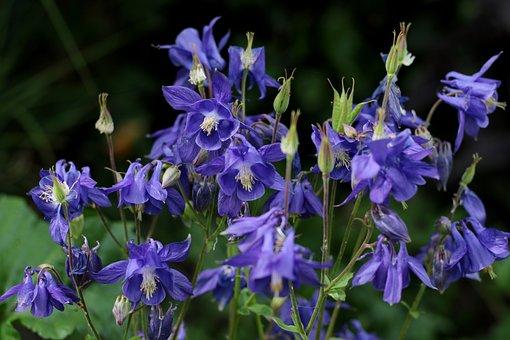 Akelei, Blue, Garden, Nature, Spring, Violet, Aquilegia