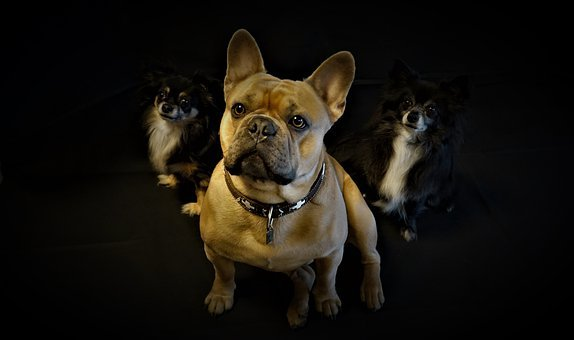 Dogs, Three, French Bulldog, Chihuahua, Pack, Friends
