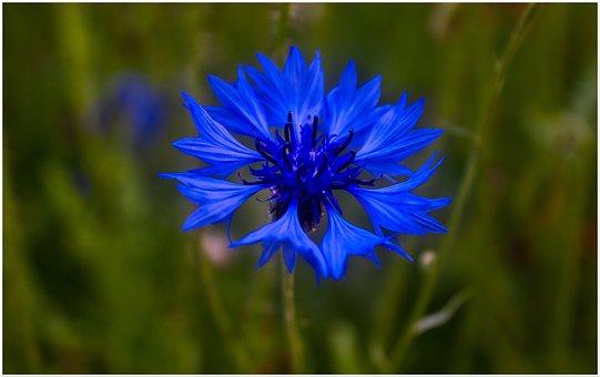 Cornflower, Sky Blue, Flower, Tender, Fine, Magical
