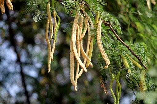 Prosopis Juliflora Fruits, Wayuunaiki