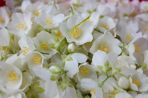 Jasmine, Flowers, Aroma, Mock Orange
