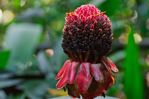 Costa Rica, Flower, Nature, Plant, Cane Of Emperor