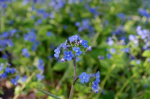 Flower, Blue, Blossom, Brunnera, Macrophylla, Spring