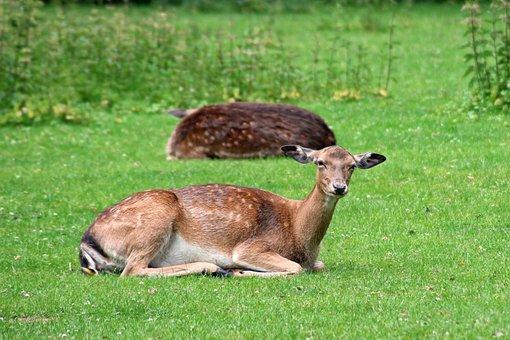 Forest, Deer, Fallow Deer, Glade, Rest, Concerns, Wild