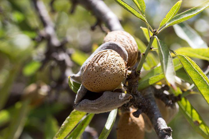 Almond, Fruit, Cultivation, Maturation, Agriculture